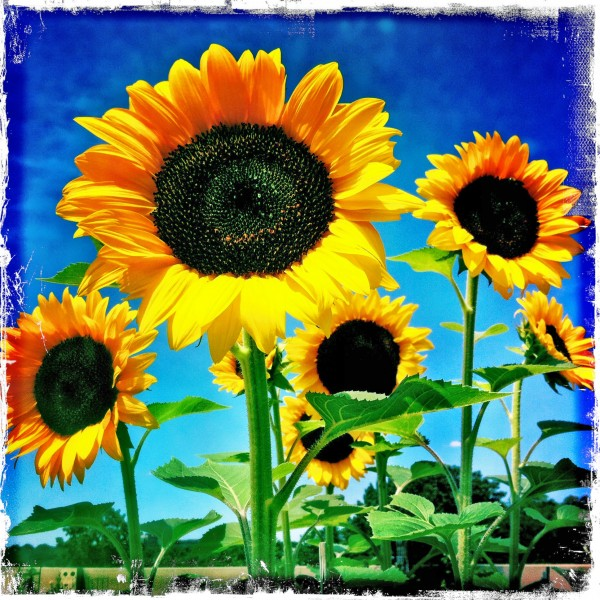 Sunflower pic taken by Mary Tanana