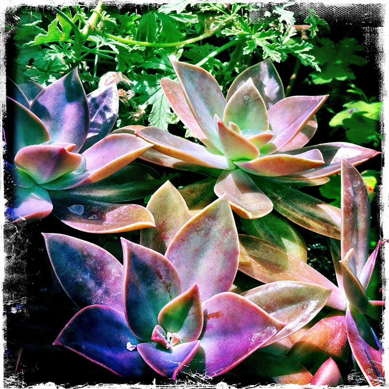 #Succulents #plants Photo by Mary Tanana © 2013