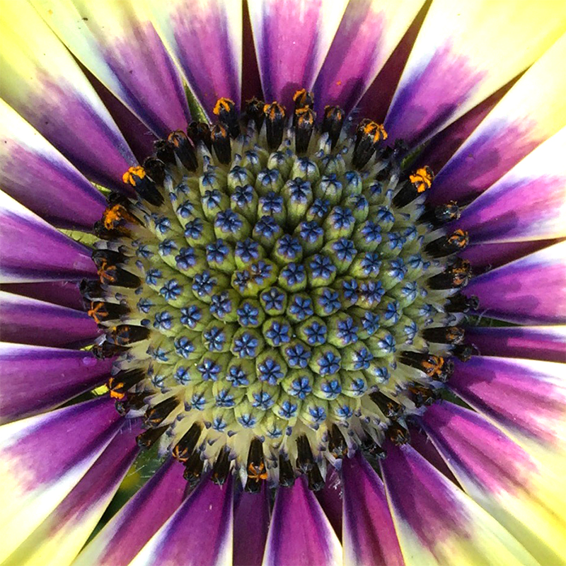upclose-flower-center-pollen-daisy -purple-osteospurmum