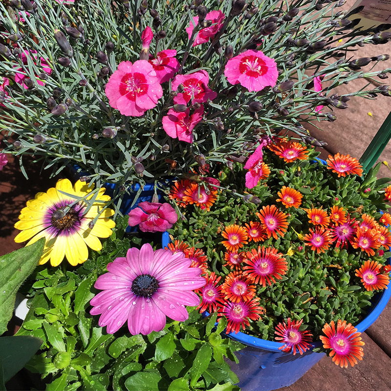 spring-flowers-daisy-dianthus-ice plant