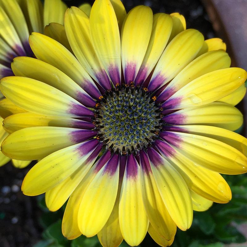 flower-daisy-garden-yellow-purple-osteospurmum
