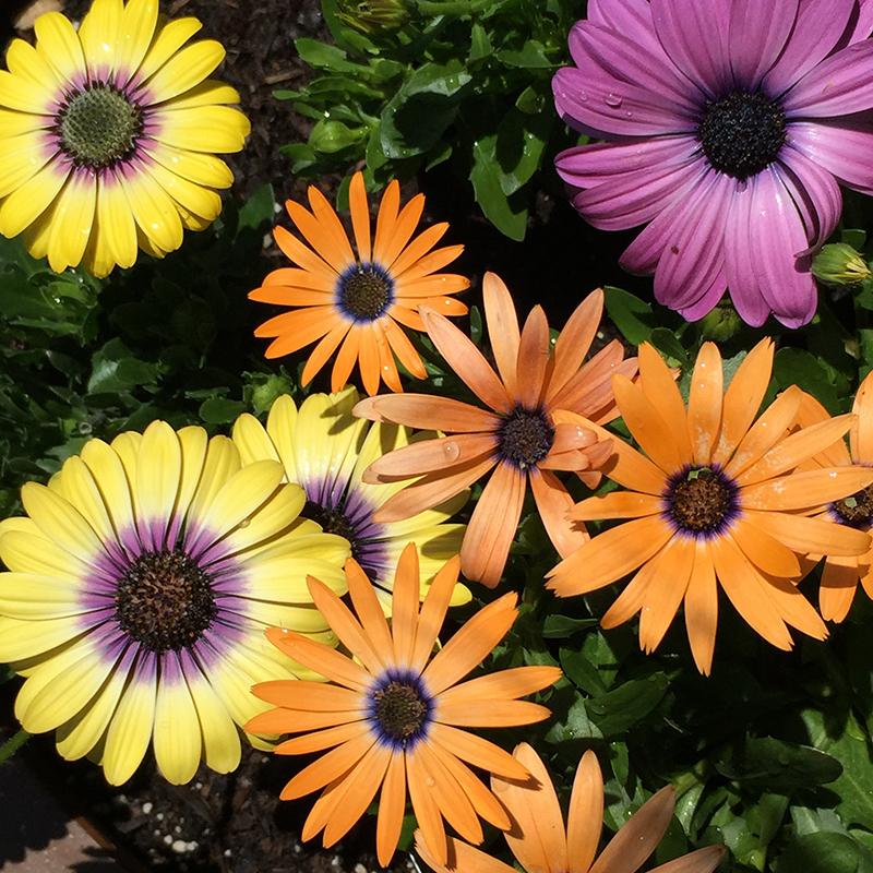 osteospurmum-african daisy-color