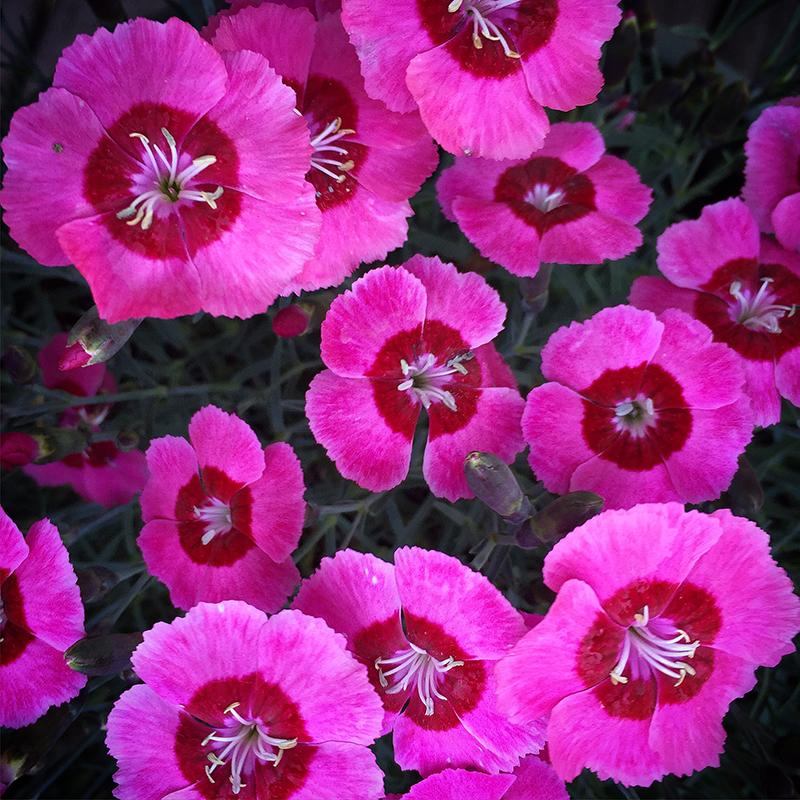dianthus-pinks-magenta-flower