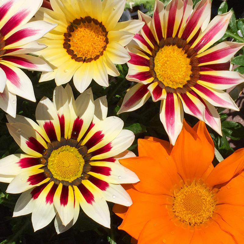 gazania-flower-garden